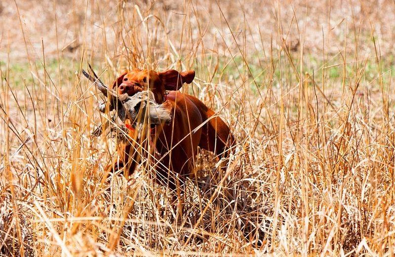 Характеристика венгерской выжлы: характер жесткошерстной легавой собаки