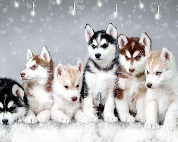 Помски собака: описание породы, характер, цена, фото и видео