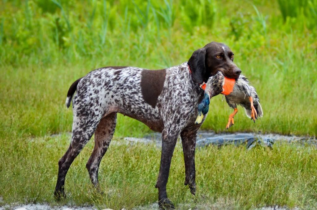 фото охотничьей собаки зятем