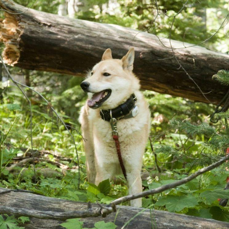 Западно-сибирская лайка: дрессировка собаки в домашних условиях