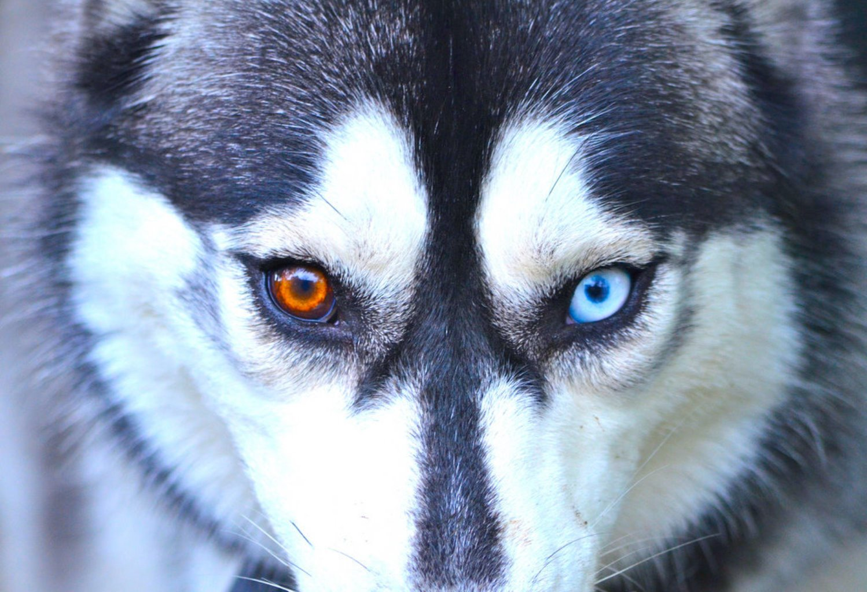 Хаски с глазами разных цветов: Обзор  Видео