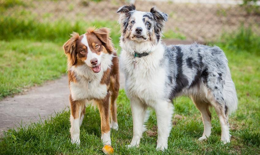 Размеры, окрасы, виды шерсти и характеристики породы собак бордер колли