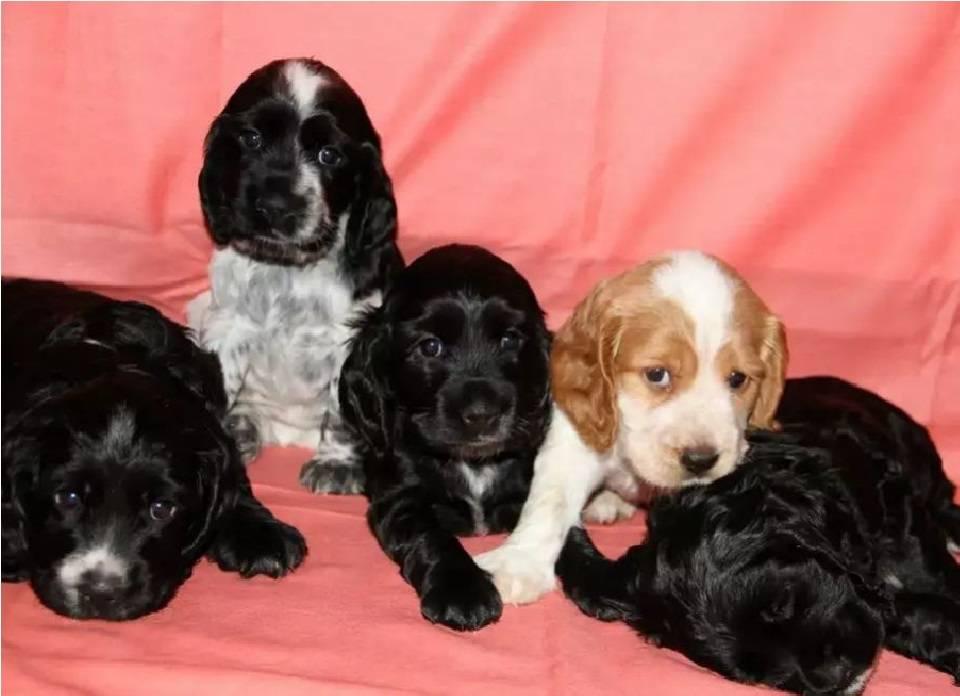 Спрингер собака. Описание, особенности, уход и цена породы спрингер