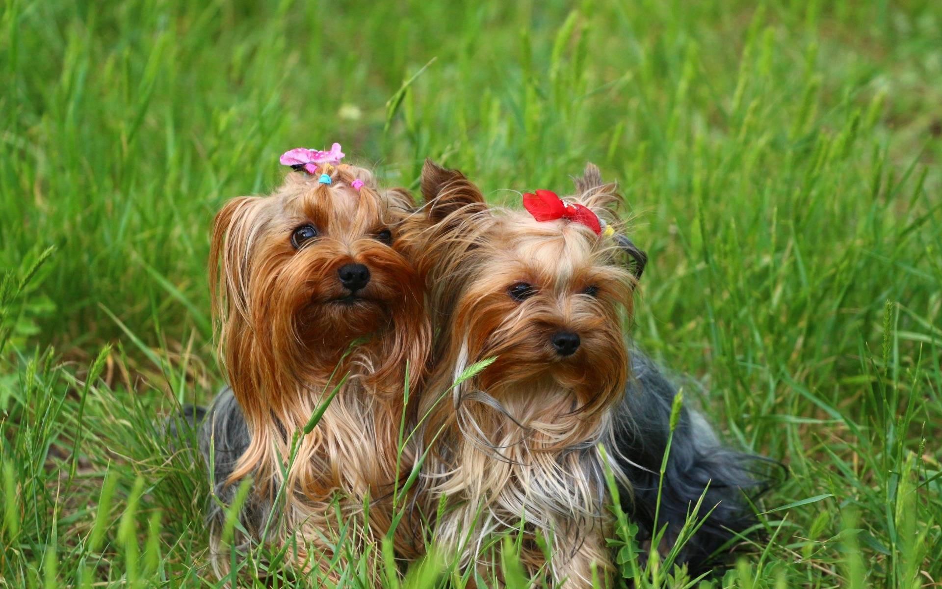 Картинка собаки йорк