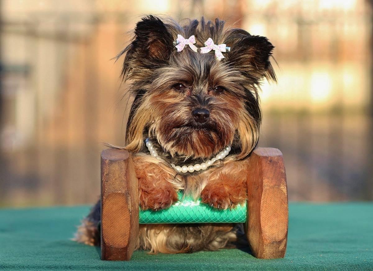 Корма для йоркширских терьеров: норма сухого и влажного корма для щенков йорка. Обзор кормов премиум-класса для собак
