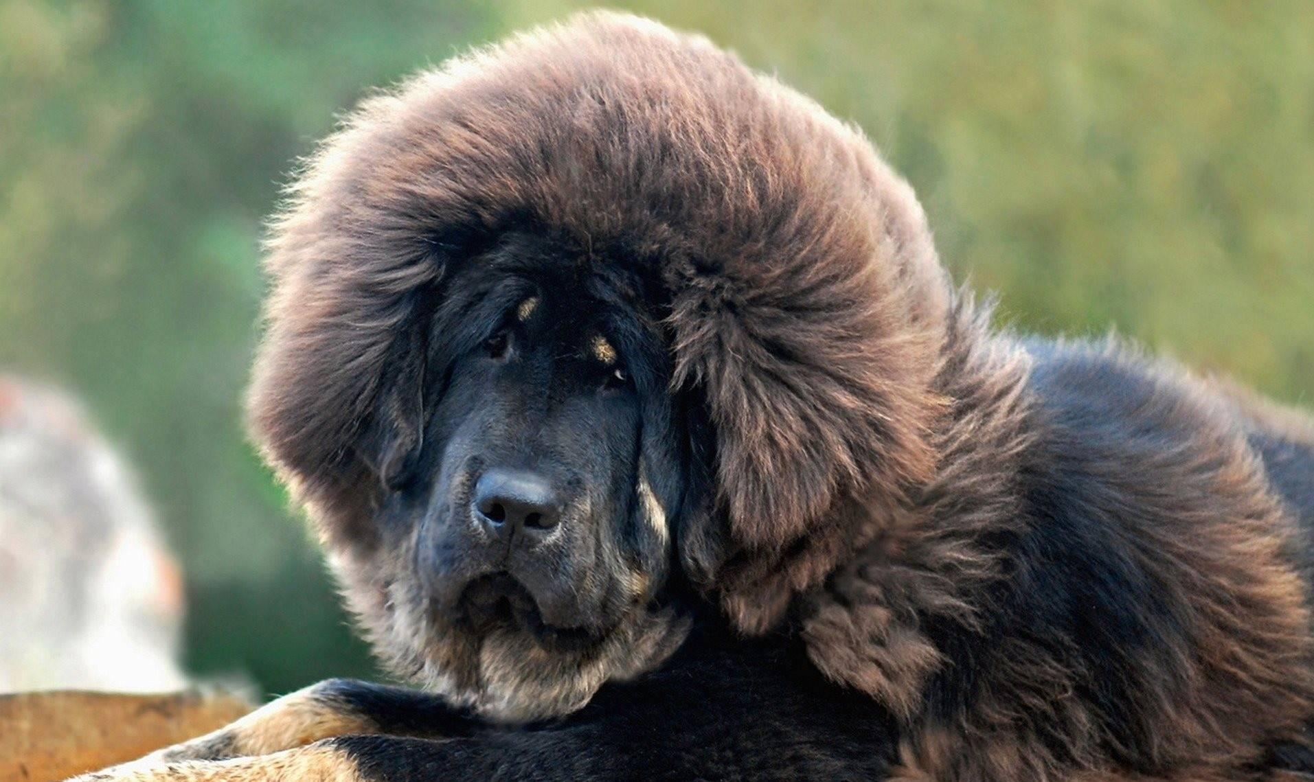 Английский мастиф описание породы собак, характеристики, внешний вид, история