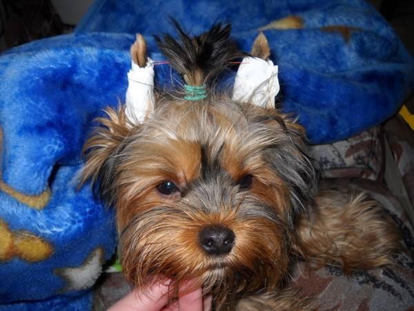 Как поставить уши йоркширскому терьеру