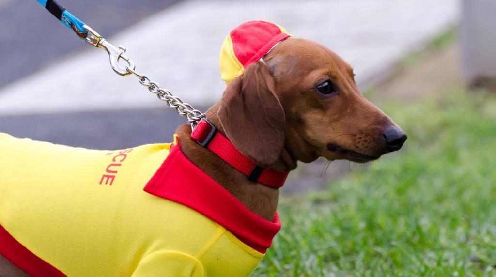 Вс о щенках таксы от подготовки к вязке до ухода за новорожднными