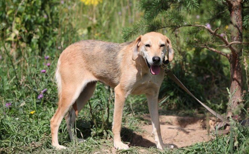 Порода собак русская пегая гончая и ее характеристики с фото