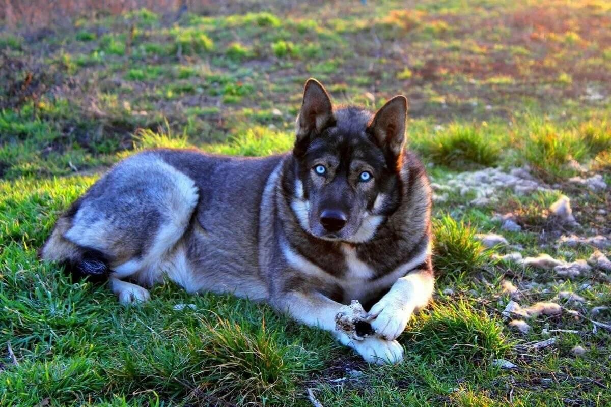 Волкособ: одомашненный волк или особый вид собаки? 1