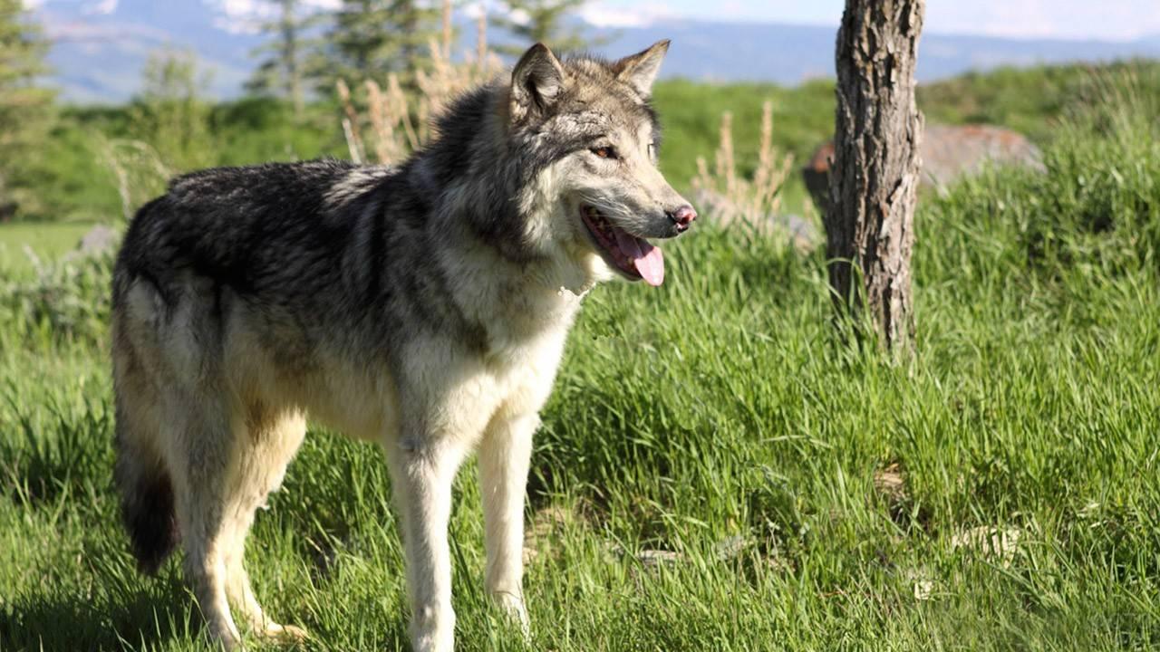 Волкособ: одомашненный волк или особый вид собаки? 3