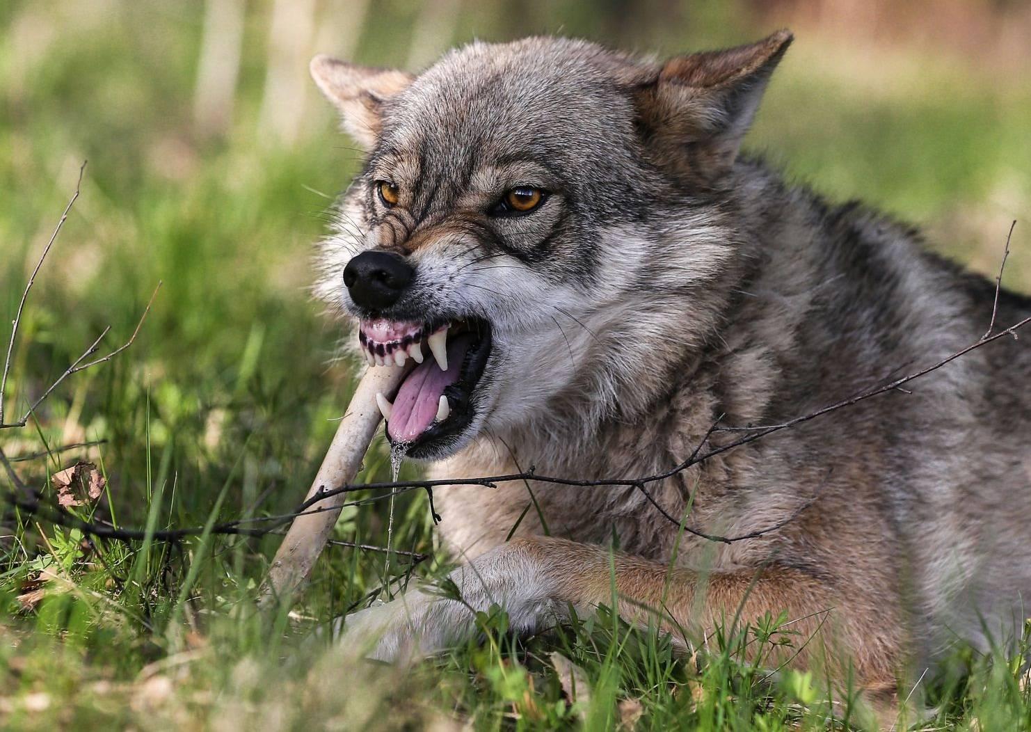 Собака и волк картинка