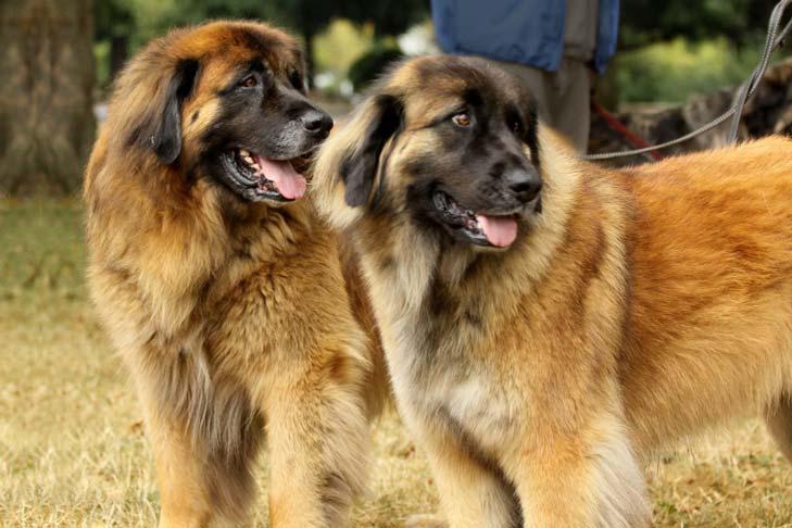 Порода собак леонбергер и ее характеристики с фото