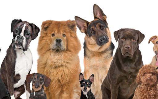 Описание породы Джек-рассел-терьер с фото и видео: характер, чем кормить и сколько живут, выбор щенков и отзывы владельцев