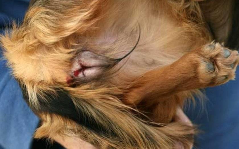 Собака после течки похудела что может быть