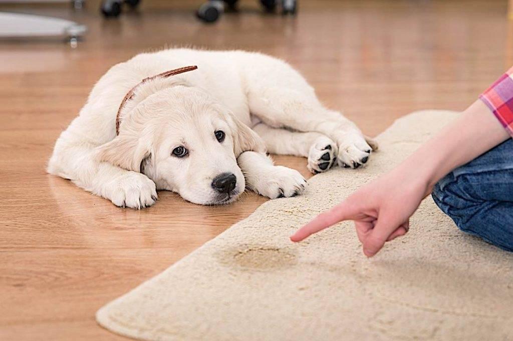 Как убрать запах собачьей мочи с линолеума