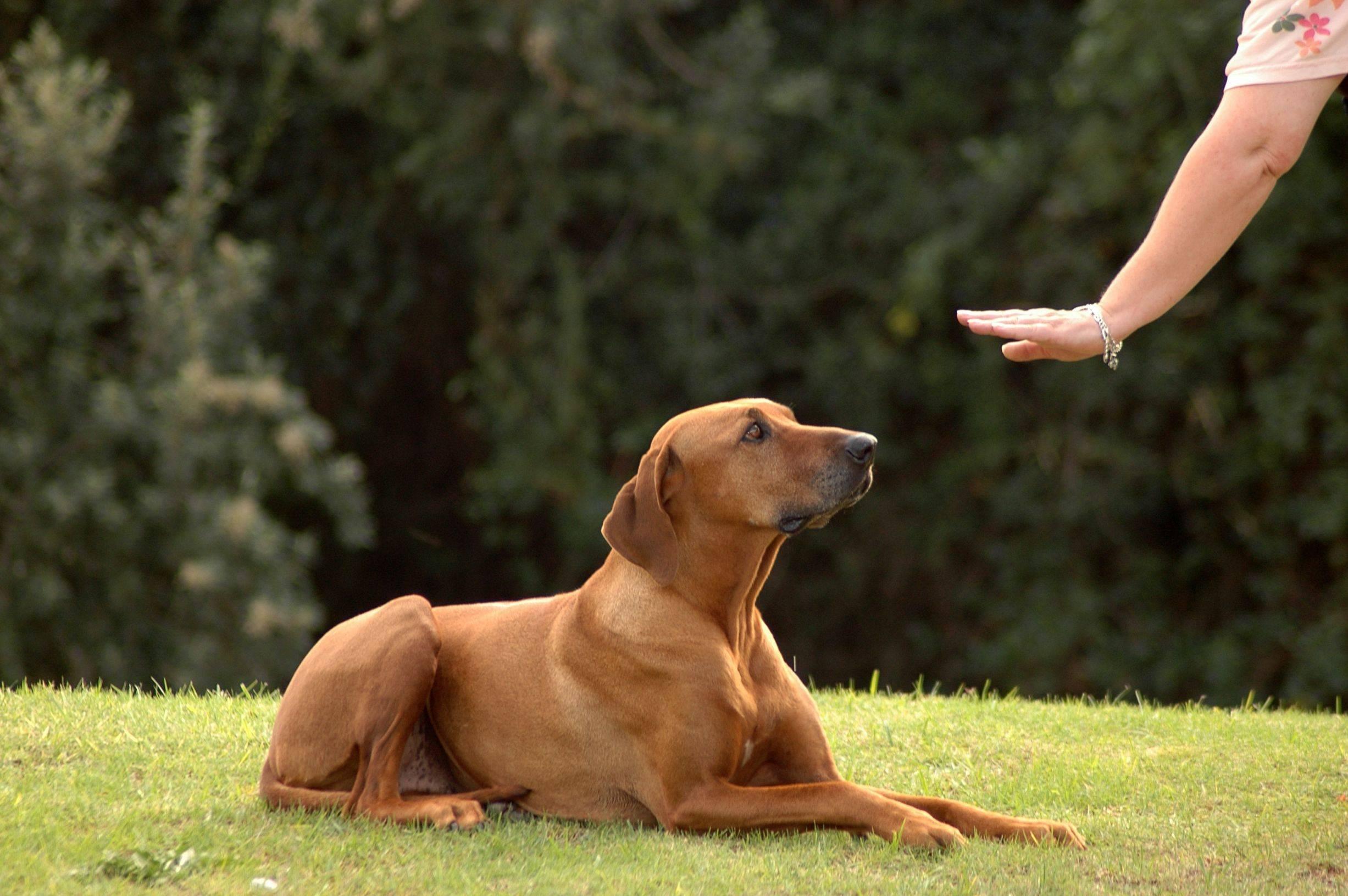 Где и как дрессировать собаку в домашних условиях 5