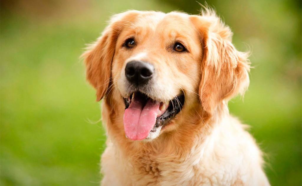 11 самых дружелюбных пород собак