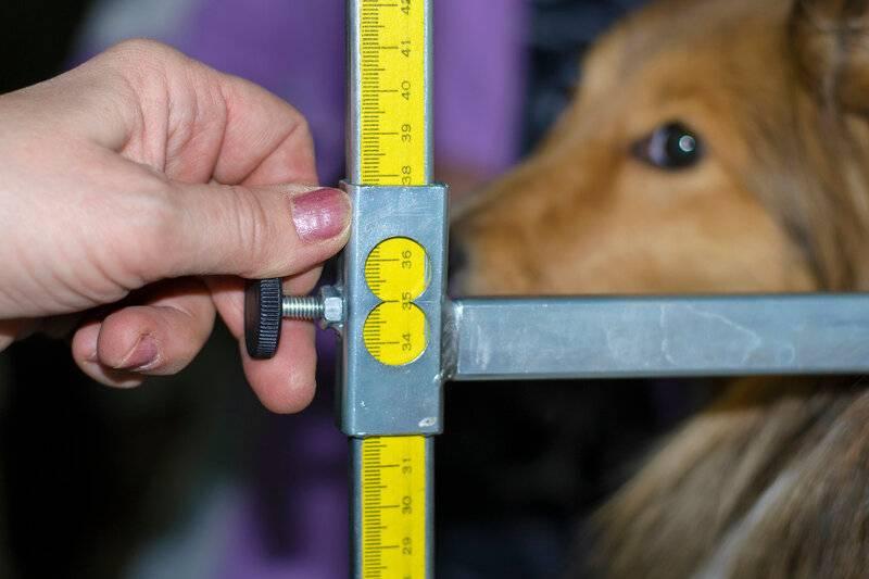 картинка измерения собаки первоклашки терпеть
