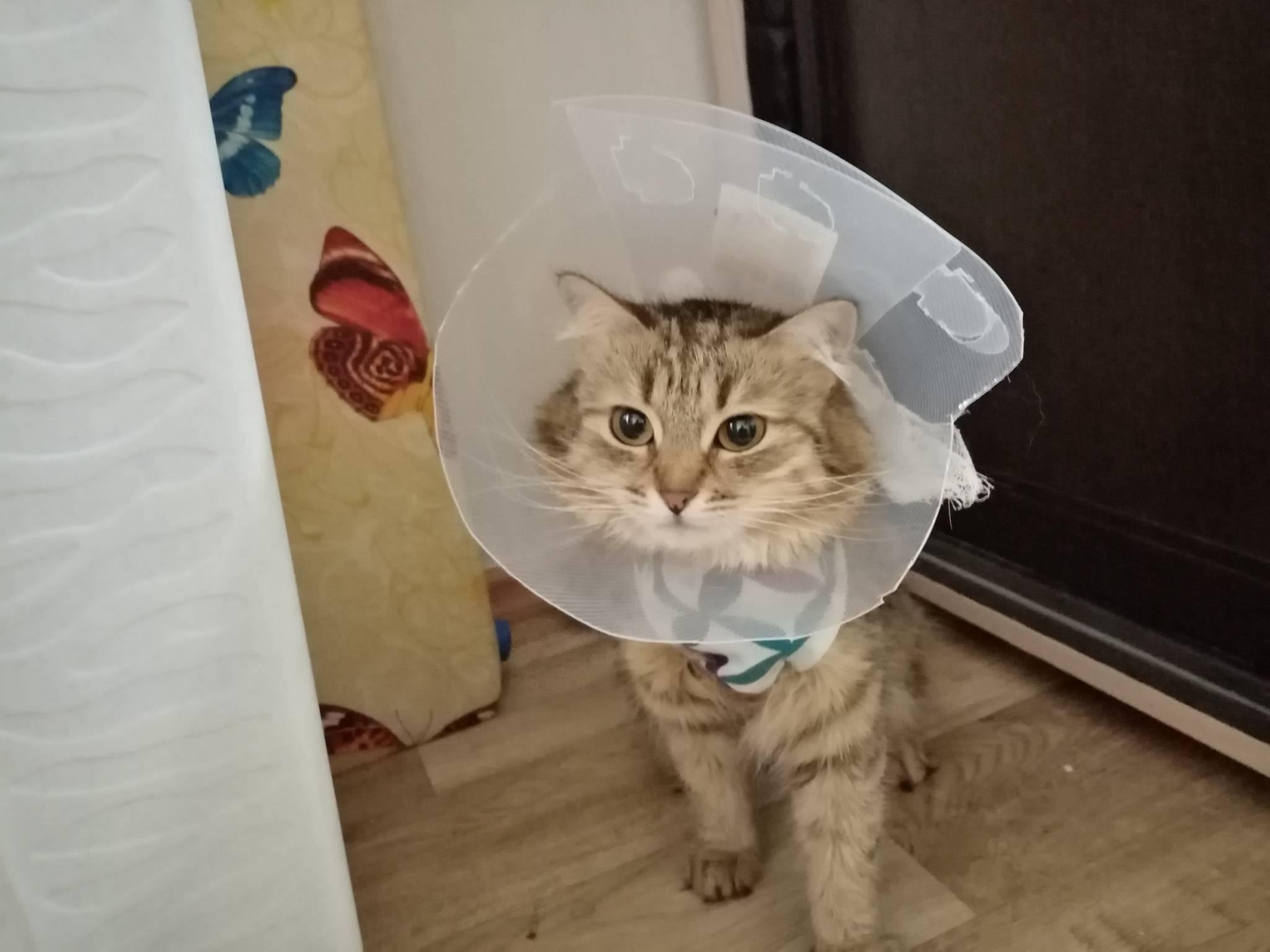 Сколько дней кошке нужно носить попону после стерилизации