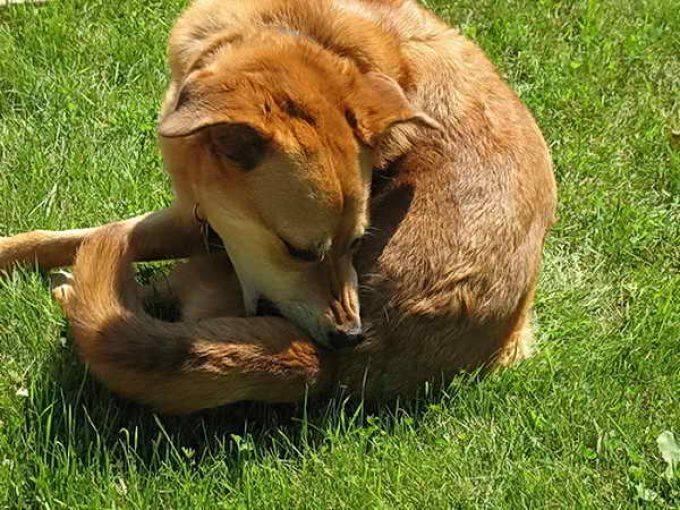 Воспаление анального отверстия у собак