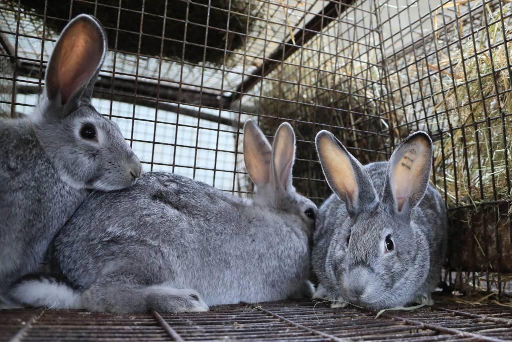 Кролики уши болезнь лечение