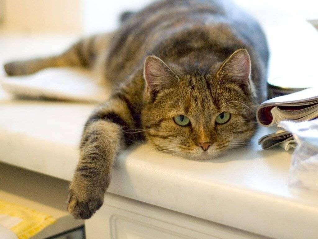 Сколько давать сухого корма кошке таблица