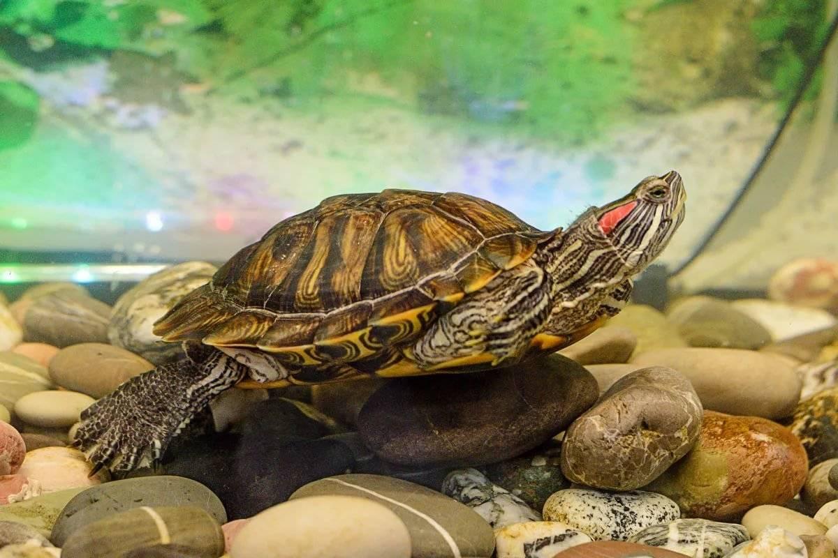 водяная черепаха в домашних условиях фото наличии